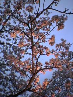 高田 夜桜